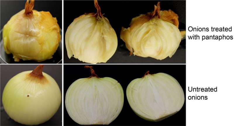 Unveiling the cause of onion center rot