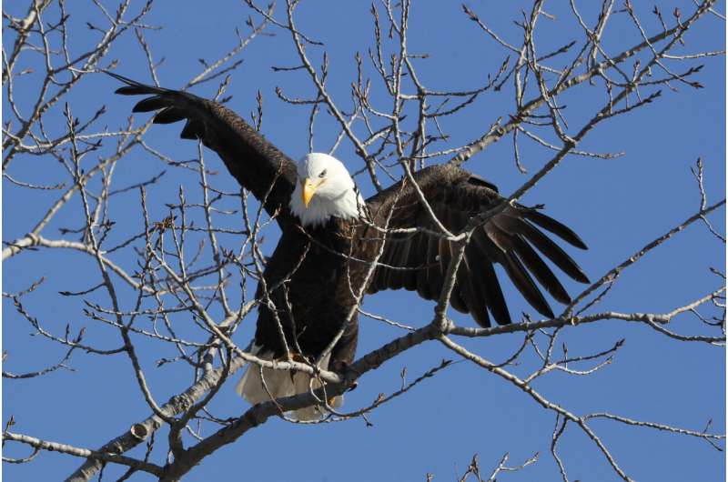 US report: Bald eagle populations soar in lower 48 states
