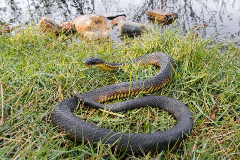 We tested tiger snake scales to measure wetland pollution in Perth. The news is worse than expected