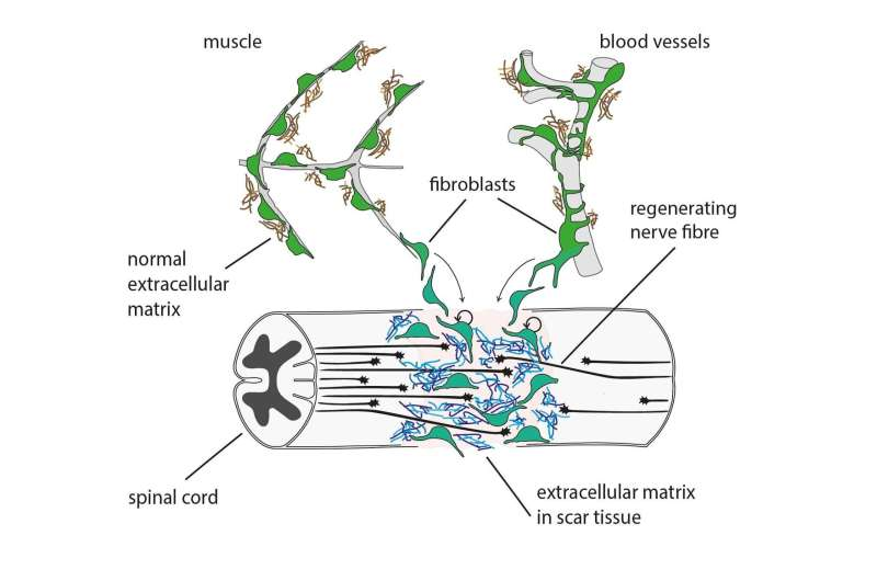 When severed spinal cord grows back together again