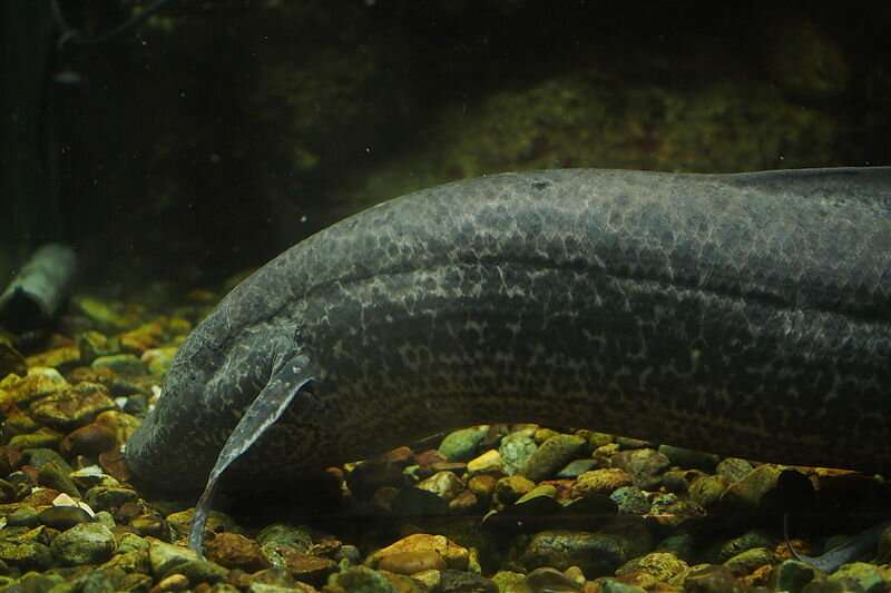 Researchers solve puzzle of water-to-land transition of vertebrates