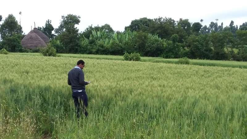 13-year analysis sheds new light on wheat crop disease patterns in Ethiopia