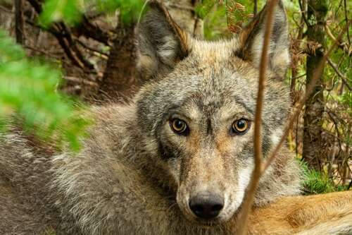 Researchers uncover hidden hunting tactics of wolves in Minnesota's Northwoods