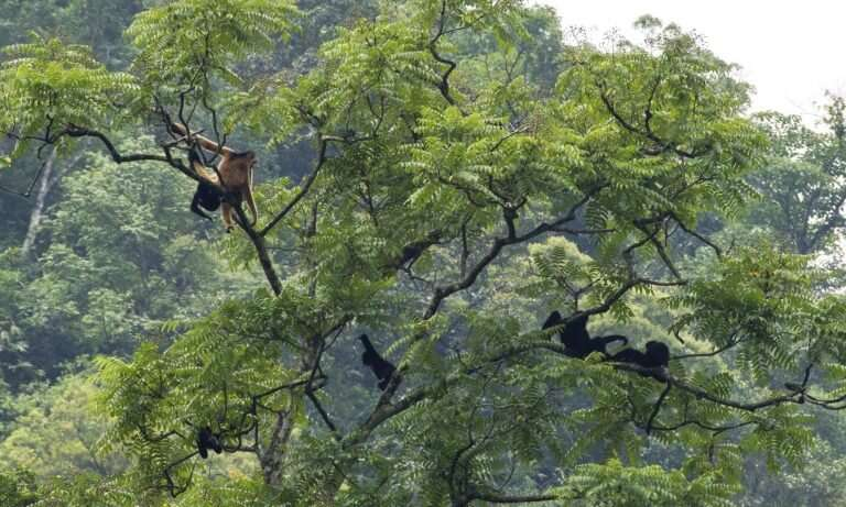 Neglected species – Sending out an SOS for a vanishingly rare primate