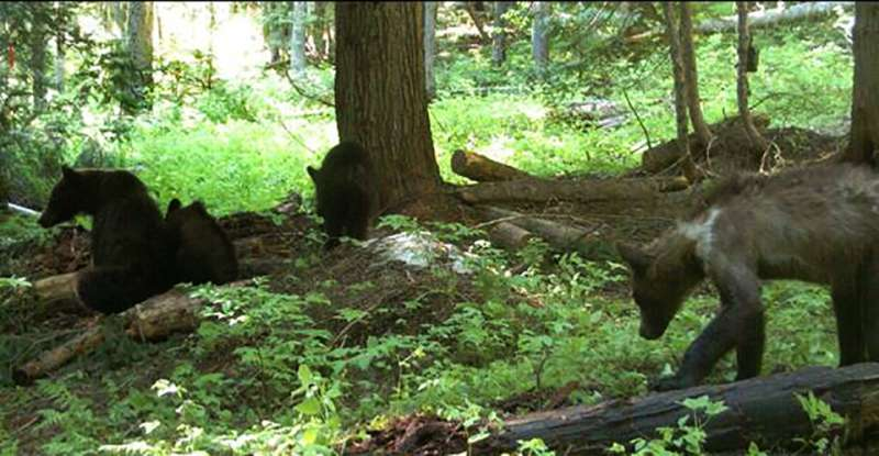 1st female grizzly in 40 years collared in Washington state
