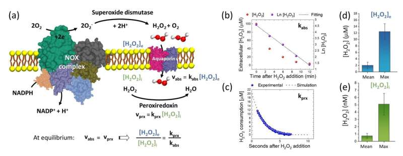 A biosensor for measuring extracellular hydrogen peroxide concentrations