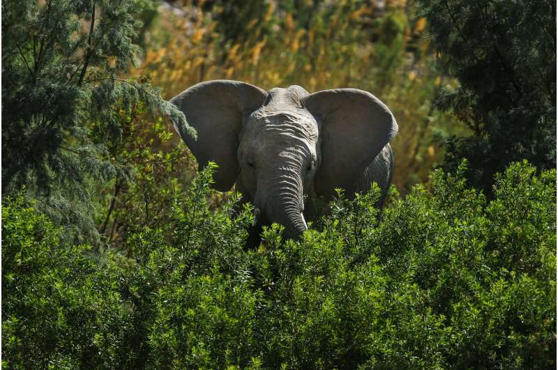 Africa's elephants now endangered by poaching, habitat loss