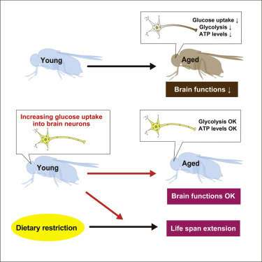 Better diet and glucose uptake in the brain lead to longer life in fruit flies