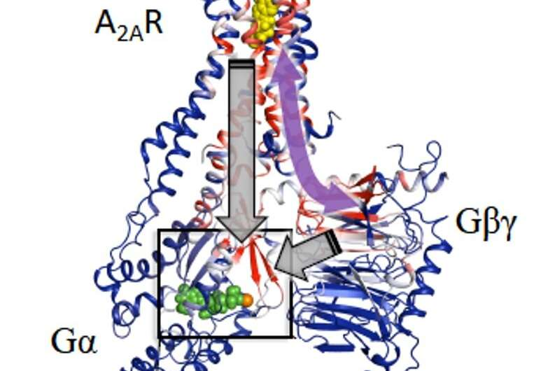 Conformational equilibria in GPCRs provides critical clues about activation mechanisms