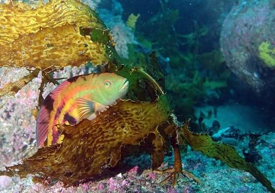 Cool water fish floundering as tropical fish invade temperate reefs