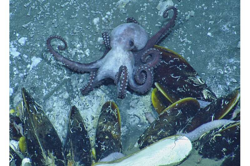 Evidence of predation by octopuses pushed back by 25 million years