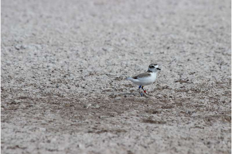 Female snowy plovers are no bad mothers