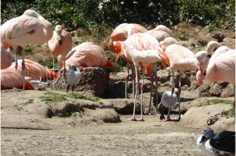 Fostered flamingos just as friendly