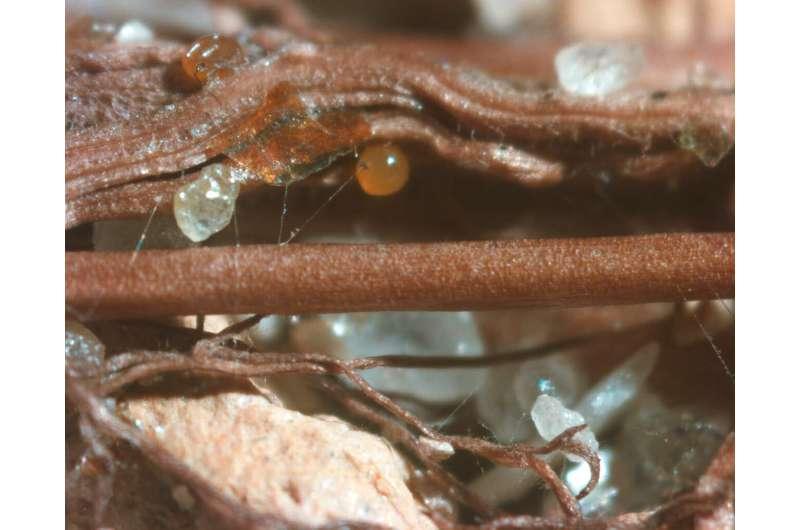 Los hongos pueden manipular las bacterias para enriquecer el suelo con nutrientes.