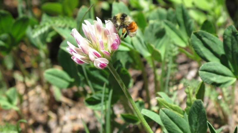 Genome sequencing reveals a new species of bumblebee