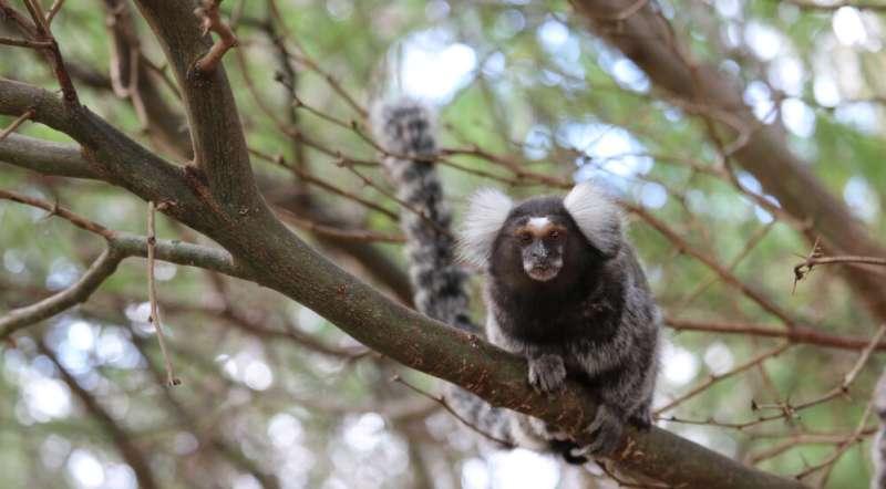 Marmoset monkeys have personalities too