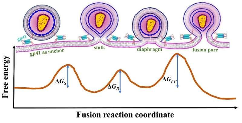 Modelling HIV fusion