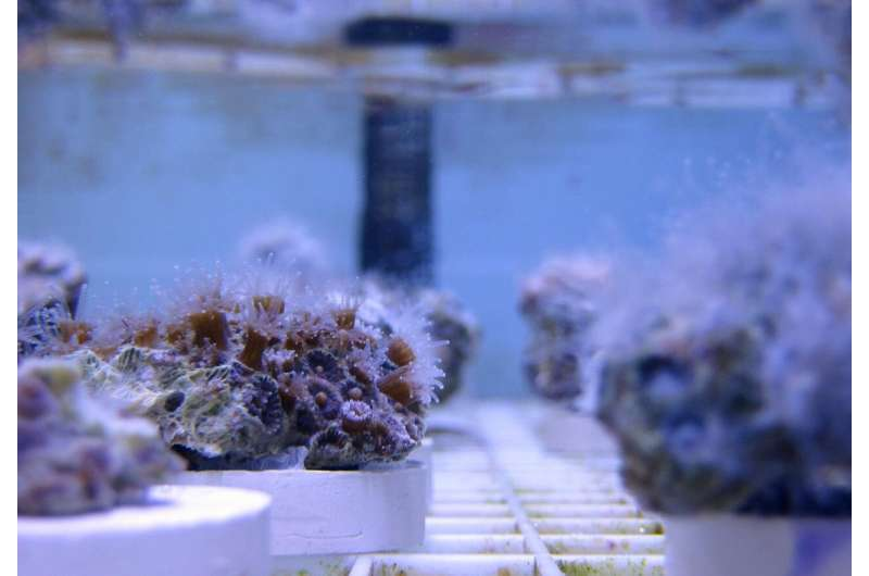 Northern Star Coral study could help protect tropical corals