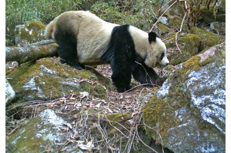Pandas' popularity not protecting neighbors