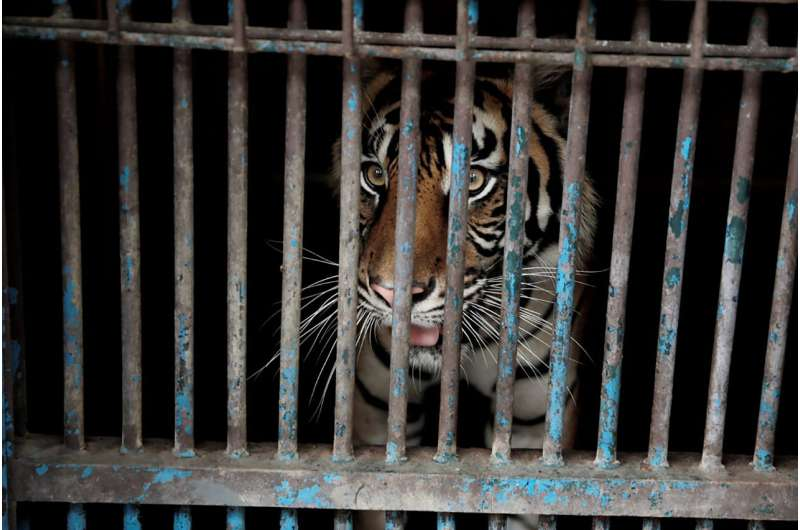 2 rare Sumatran tigers recovering after catching COVID-19