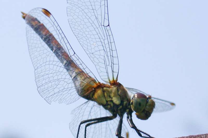 Research team develops joint splints for sports and medicine inspired by dragonfly wings