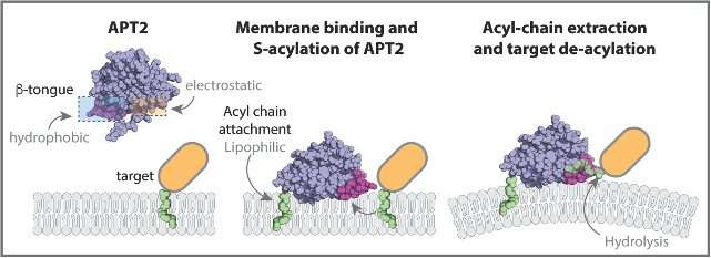 Revealing the way a critical enzyme works in the cell