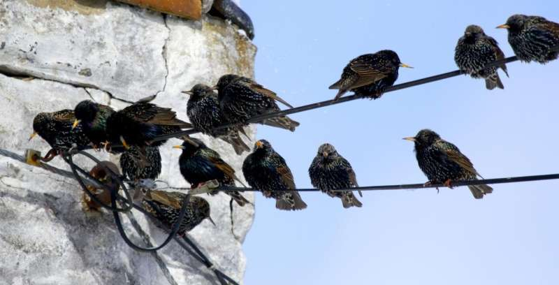Starling success traced to rapid adaptation