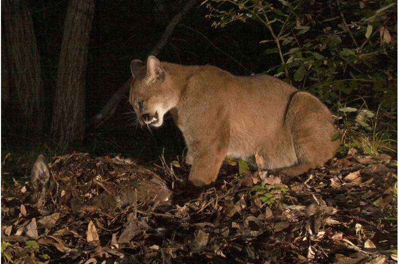 Study: Black bears are eating pumas' lunch