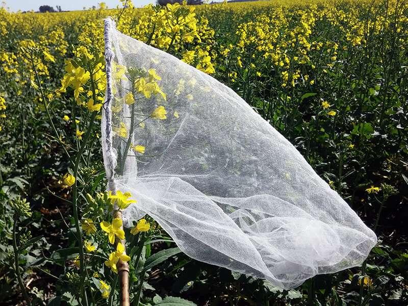 El rumor sobre los polinizadores en los campos de colza