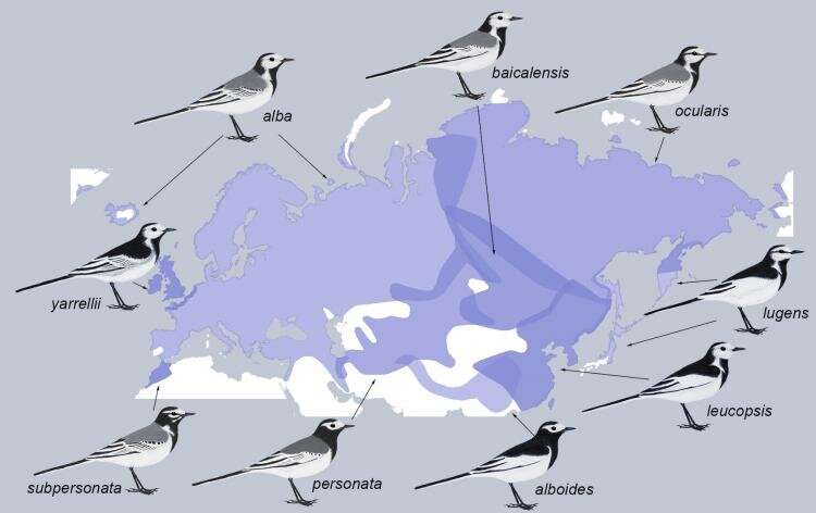 The genetic underpinnings of plumage for Eurasian white wagtails