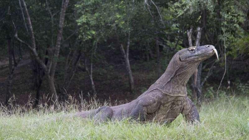 Study reveals surprising history of world's largest lizard »
