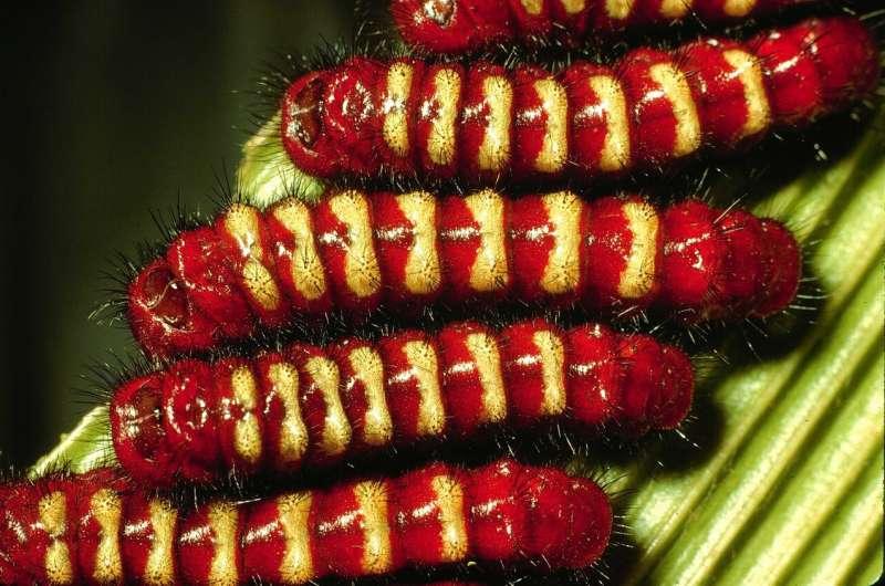يكتشف العلماء كيف أصبحت مجموعة من اليرقات سامة