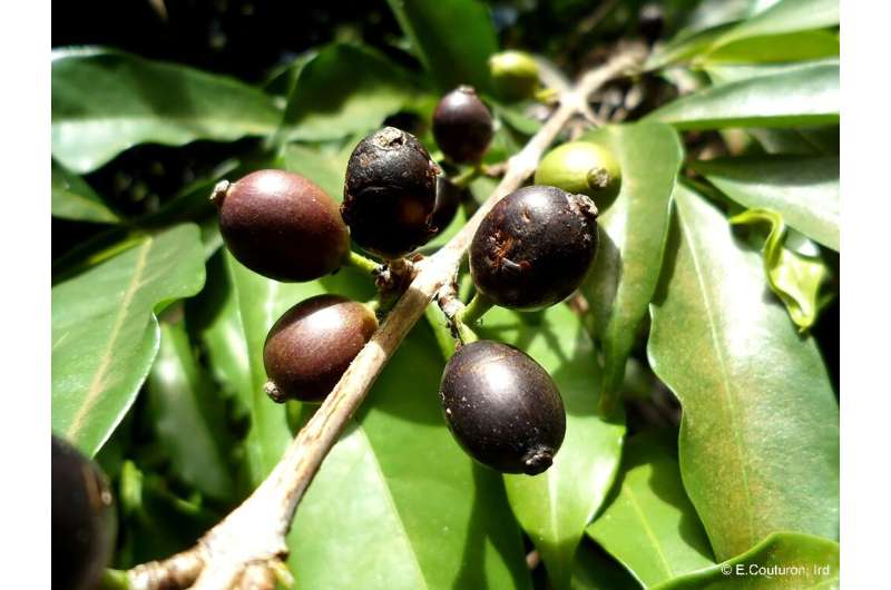 Researchers found Coffea stenophylla is endemic to Guinea, Sierra Leone and Ivory Coast