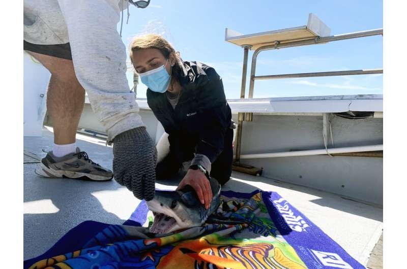 Researchers use tracking data to better inform mako shark management