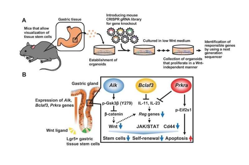 Identification of three genes that determine the stemness of gastric tissue stem cells