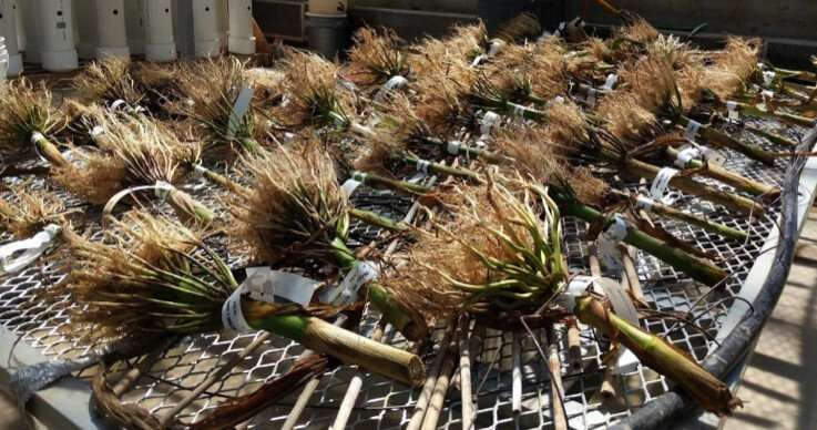 Newly discovered trait helps plants grow deeper roots in dry, compacted soils