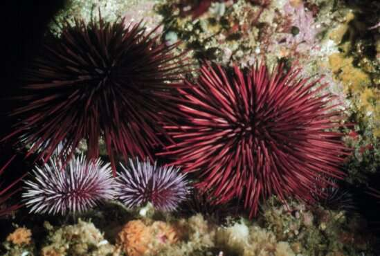 Researchers begin to decipher the composition and function of sea urchin microbiomes