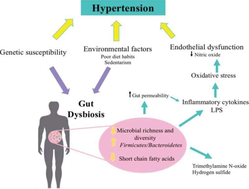 Study examines fermented milks' potential benefits for decreasing high blood pressure through modulation of gut microbiota