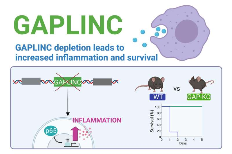 Study identifies noncoding RNA involved in immune response and sepsis thumbnail