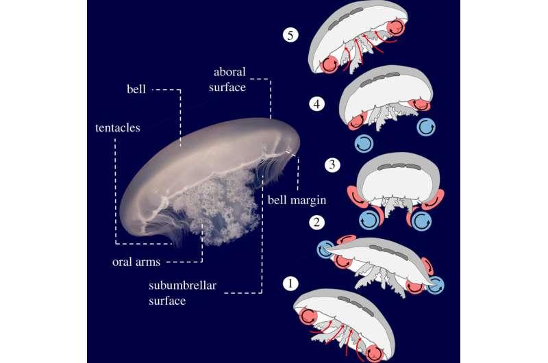 Study reveals jellyfish create a 'virtual wall' to enhance performance