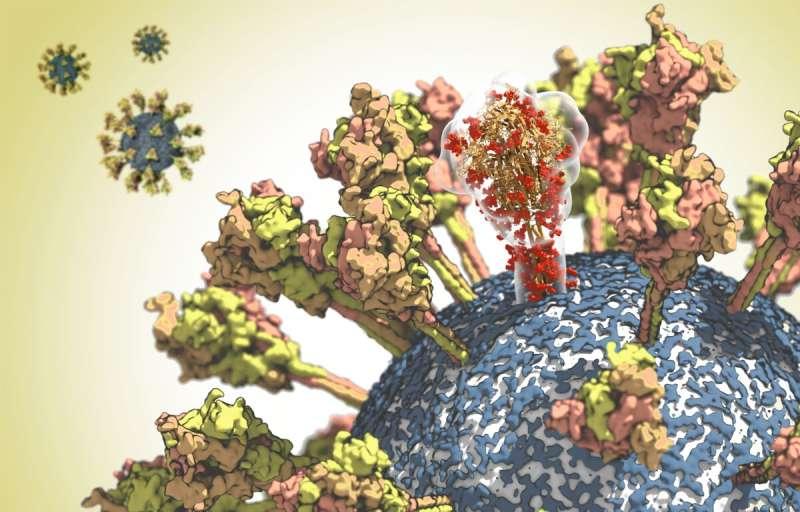 Unravelling the coronavirus structure