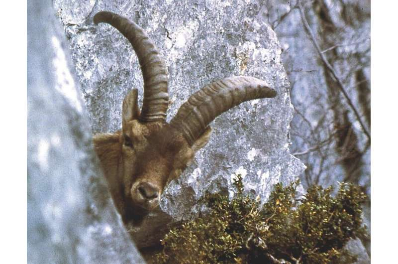 What can we learn from vanishing wildlife species: The case of the Pyrenean Ibex