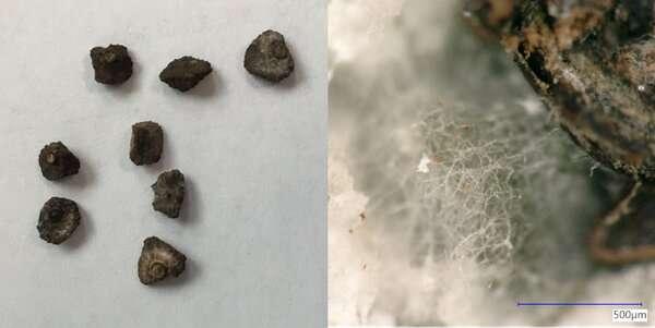 Cómo descubrimos un mundo oculto de hongos dentro del banco de semillas más grande del mundo