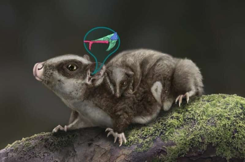 Researchers announce surprising clue in the evolution of mammalian middle ear