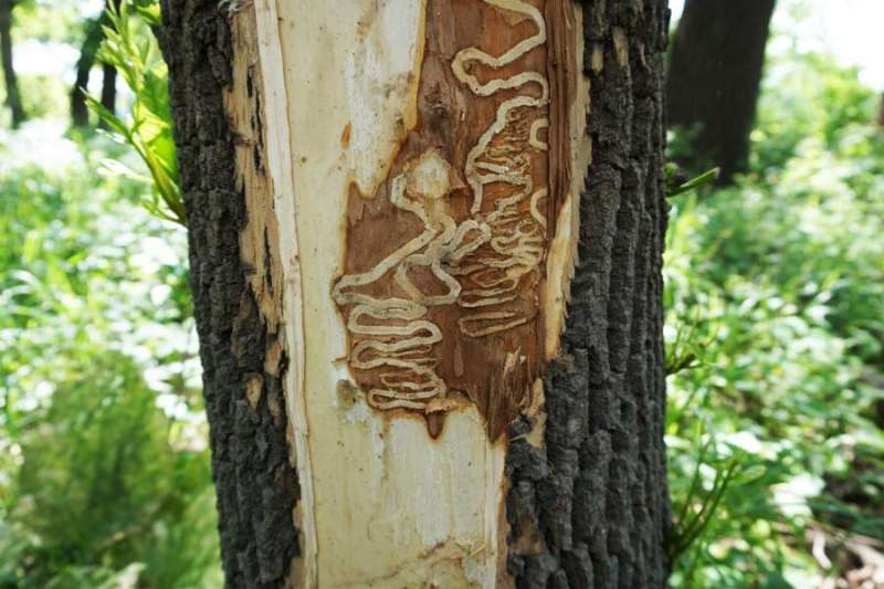 University of Minnesota scientists discover attacking fungi that show promise against emerald ash borer