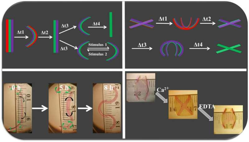 4D bioengineering materials bend, curve like natural tissue