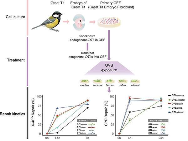 Scientists unravel similar but not identical evolutionary trajectories of birds in adaptation to high-elevation environment