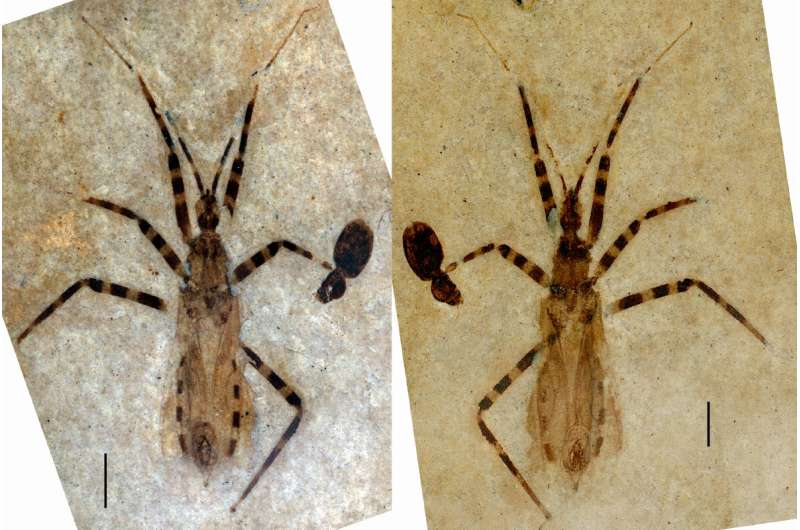 50 million-year-old fossil assassin bug has unusually well-preserved genitalia