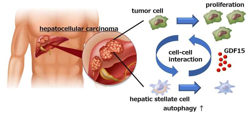 Liver cancer cells manipulate stromal cells involved in fibrosis to promote tumor growth
