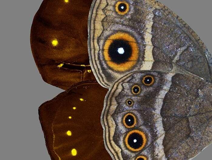 Development of eyespot patterns on butterflies